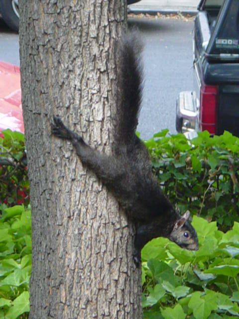 A black squirrel on a tree in Woodside, Queens